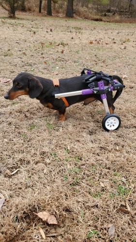 HiHydro Rear Support Dog Wheelchair For Small Dog New Generation Purple Light Weight photo review